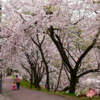 愛宕山-桜