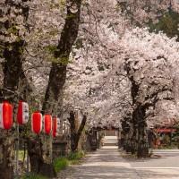 新田-東善院-桜
